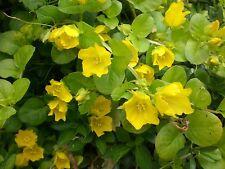 Teich Pflanzen Wasserpflanzen Sumpfpflanze Filterpflanze Uferzone Pfennigkraut