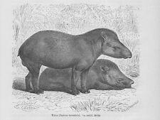 Tapir Flachlandtapir Tapirus terrestris Holzstich von 1891 Mützel
