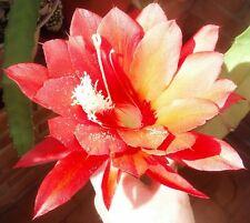 """Blattkaktee """"Disocactus ackermannii"""" schöne hängende Triebe mit tollen Blüten."""