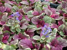 1 Ajuga Ruby Glow Evergreen groundcover variegated  Bugle Bee Butterfly plant