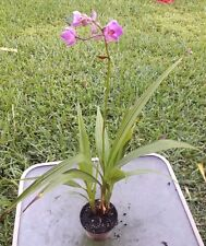 "Spathoglottis plicata Large Purple Ground Orchid Plant in 4"" p 14-16"" T 12-14"" W"