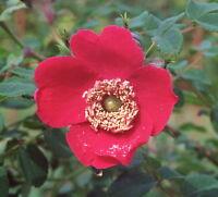 Rosa moyesii 100 Samen, Mandarin-Rose Rote Büschelrose, Blut-Rose Saatgut