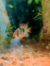 "German Blue Ram Cichlid 1.25"" Live Tropical Freshwater Aquarium Fish Cichlids"