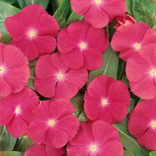 250ct Heirloom Bulk Flower Seeds Miixed Vinca Seeds Mixed Periwinkle Seeds