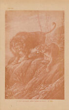 Gravure ancienne musée du jeune naturaliste  lion et lionne