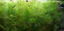 1 Sandwich Bag Of Naja Guppy Grass Plant great for fry/shrimp big handful