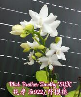 Orchid Phalaenopsis Brother Timothy 'SYK' (NFS)