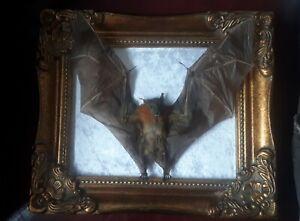 Real Cynopterus Brachyotis Bat Taxidermy- in Ornate Dorma Frame, Gothic