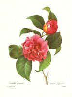 Antique Pink Camellia Botanical Print Vintage Redoute Wall Art pjr 3792-16