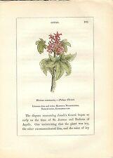 Stampa antica PIANTE DELLA BIBBIA RICINO Ricinus communis 1842 Old antique print