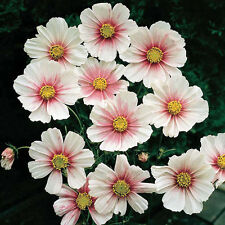 Flower seed - COSMOS DAYDREAM * COSMOS BIPINNATUS Pink and White colour