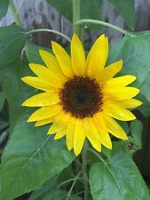 Sunflower Seed Beautiful Flower 50 Seeds