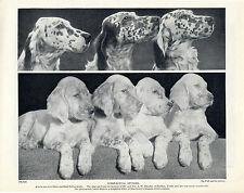ENGLISH SETTER DOGS AND PUPPIES LOVELY OLD ORIGINAL DOG PRINT PAGE FROM 1934