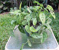 "Monstera adansonii Swiss cheese Plant 8"" Pot 9"" Tall 14""-16"" Wide"