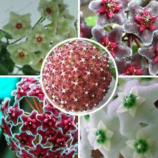 Promo! Hoya seeds, variety complete Hoya carnosa seeds 100 particles / bag