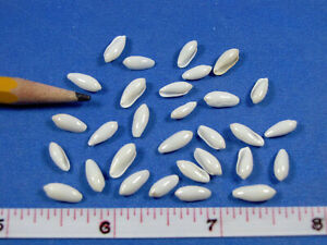 "Tiny Pearl Marginella Rice Shells 5/16""- 3/8"" (30) sailors valentines, jewelry"