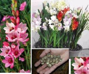 Afrikanische Zwerg-Gladiolen Zimmerpflanzen Blumen für drinnen das Haus Zwiebeln