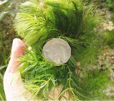 Aquarium Live Aquatic Plant Hornwort