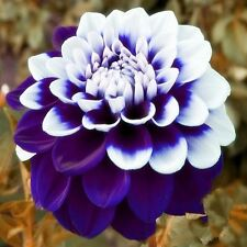 Beautiful Tomo Pilot Blue & White Dahlia Flower Seeds 100 SEEDS