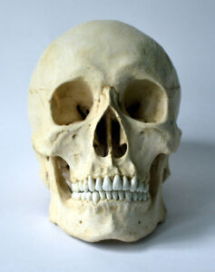 Asian Male Skull Replica