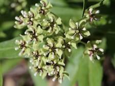 Spider aka Green Milkweed - Asclepias viridis binFr
