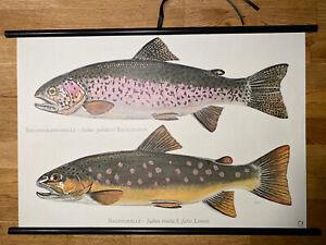 Forelle Fisch Fische  Afrika Rollkarte Schulwandkarte 50 cm x 70 cm