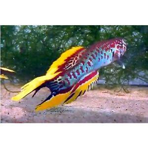 Spawn (Eggs) of Fundulopanchax nigerianus «Makurdi Longfin» (Stunning Killifish)