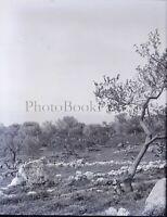 Italia Sicilia Paesaggio Oliva, Negativo Foto Stereo Placca Lente VR10L4n9