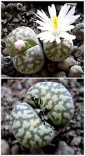 10 semi di Lithops karasmontana bella C143A, sassi viventi, semi succulente