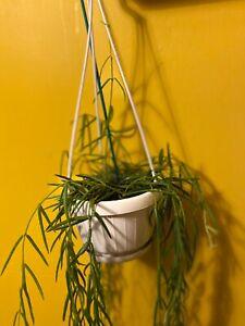 Hoya Linearis Rare Houseplant 'Wax Vine' 1x5in Fresh Cutting