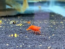 20 + extras Fire/Sakura Red freshwater neocaridina shrimp - Usa seller