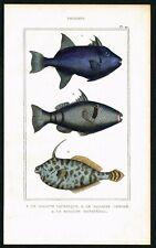 1844 Fishes, Reticulated FIlefish, Unicorn Leatherjacket, H/C Antique Print