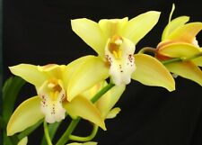 new Rare Cymbidium tiger tail flowering size orchid plant