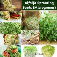 ALFALFA Seeds 100g-2kg sprouts MICROGREENS sprout sprouting UNTREATED salad EASY