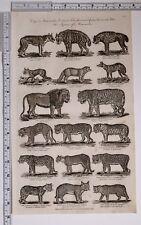 c1795 ORIGINAL PRINT MAMMALIA WOLF ARTIC FOX TIGER JACKAL PANTHER MOUNTAIN CAT