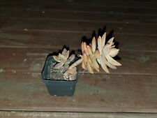 Graptosedum Pats Pink, rooted offset, collectable, cactus, succulent, plant