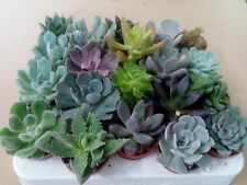 Full Tray 20 x Mixed Succulent Plants (Echeveria/Crassula/Aloe) In 5.5cm Pots