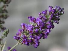 Schmetterlingsstrauch Buddleja davidii 'Ellens Blue'  60 - 80 cm im Container