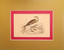 COLLARED PRATENCOLE Genuine 170 YEAR OLD Hand Colored PRINT Europe Africa & Asia