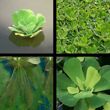 24 Small Water Lettuce Pond Plants Great For Filtration And Spawning Season!