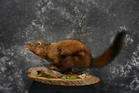"""SKU 1440 Life Size Fisher Taxidermy Mount XL 43"""" Length"""