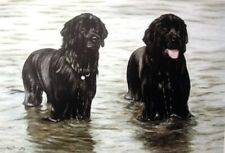 Newfoundland Dog Limited Edition Art Print Soaked by Steven Nesbitt Newf