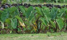 ~PURPLE GUPPY~ TARO Colocasia esculenta NATIVE HAWAIIAN ELEPHANT EAR Live Plant