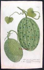 1734,EHRET & WEINMANN HandPainted FOLIO MELO RETICULATUS UJ1