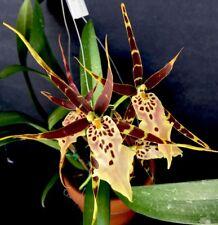 "Orchid Plant Bratonia (Miltassia) Shelob ""Tolkien"" / Bare Root"