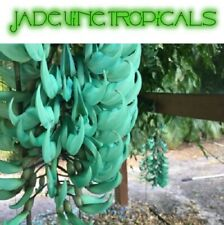 Green Jade vine (Strongylodon macrobotrys) Live Plant from Fl - Free Shipping!