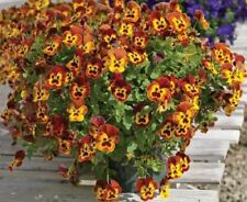Trailing Pansy Seeds Wonderfall Yellow Red Wing 25 Pansy Seeds