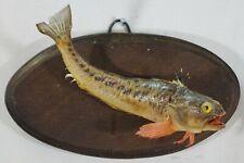 Real fish skin Mount Taxidermy fishing (Trachinus draco) 3
