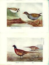 Stampa antica UCCELLI CORRIERE GROSSO GALLINELLA FAGIANO 1925 Old print birds