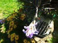 sur tige   plantes aériennes  ,terrasse,,verriére ,jardin 4 à 6ramifications